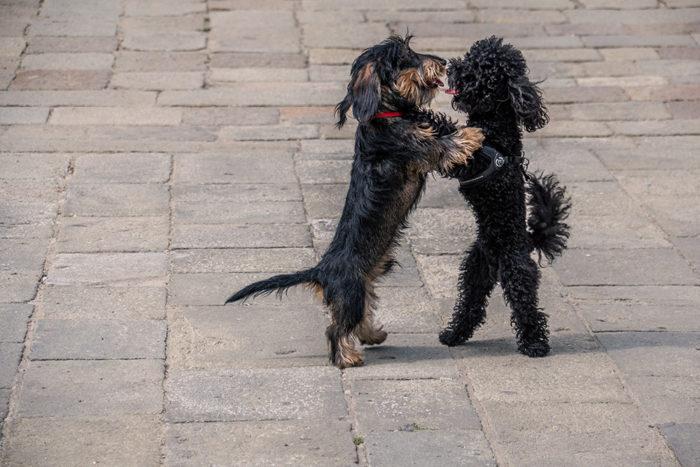 Verliebte Hunde in Venedig