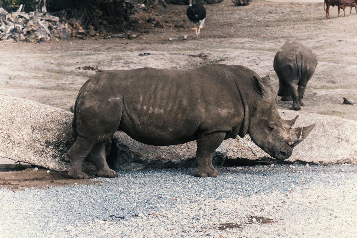 Serengeti Park Nashorn