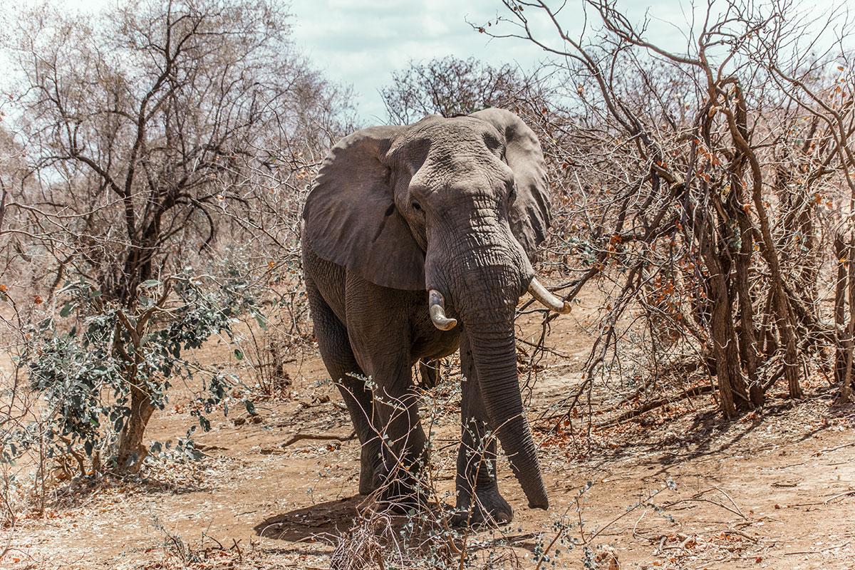 Krüger Nationalpark Elefant Auge um Auge Südafrika Reisebericht
