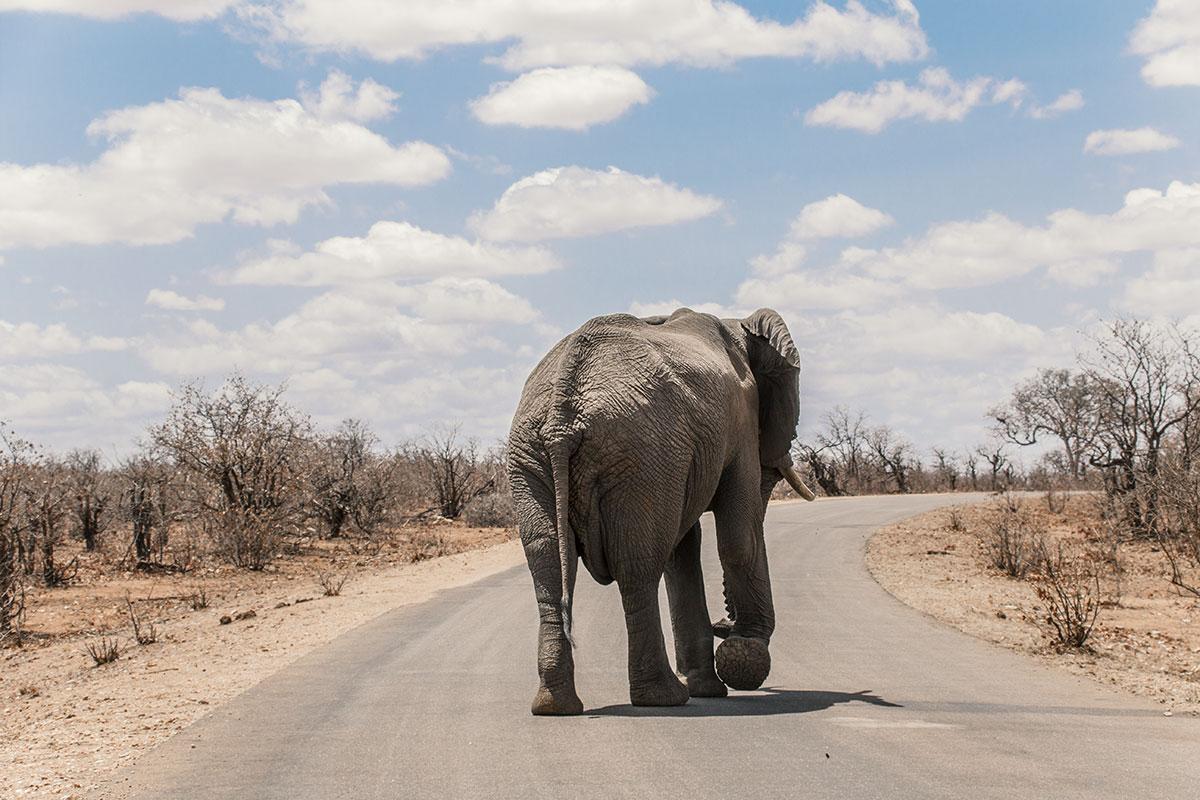 Krüger Nationalpark Elefant auf der Straße