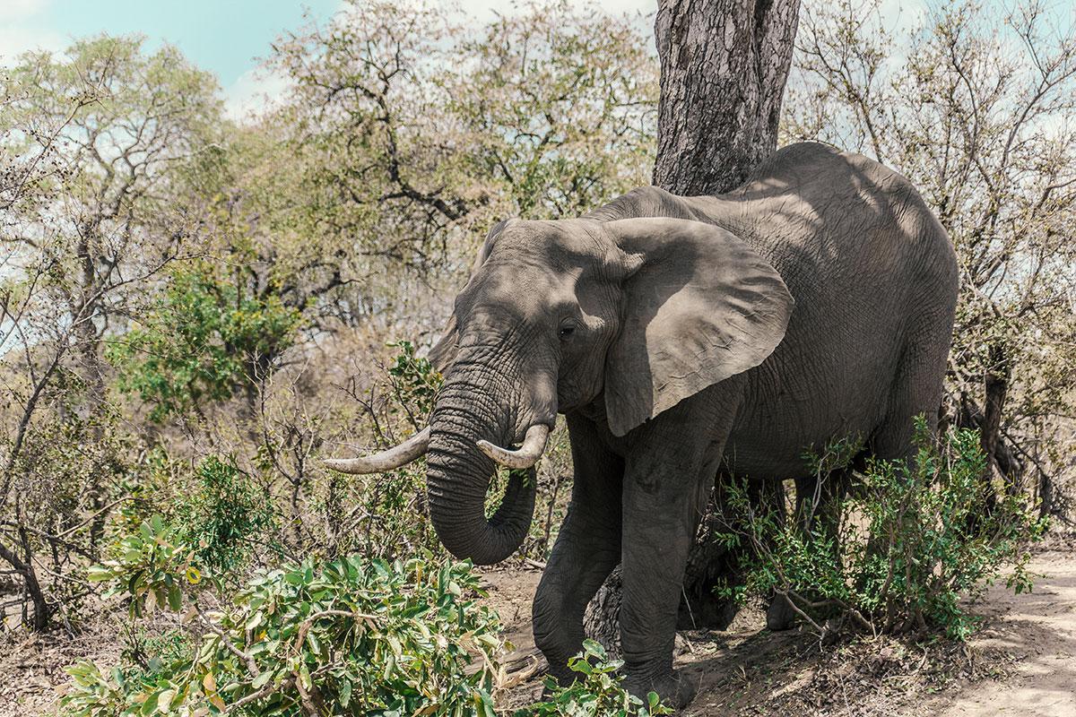 Krüger Nationalpark Elefant am fressen