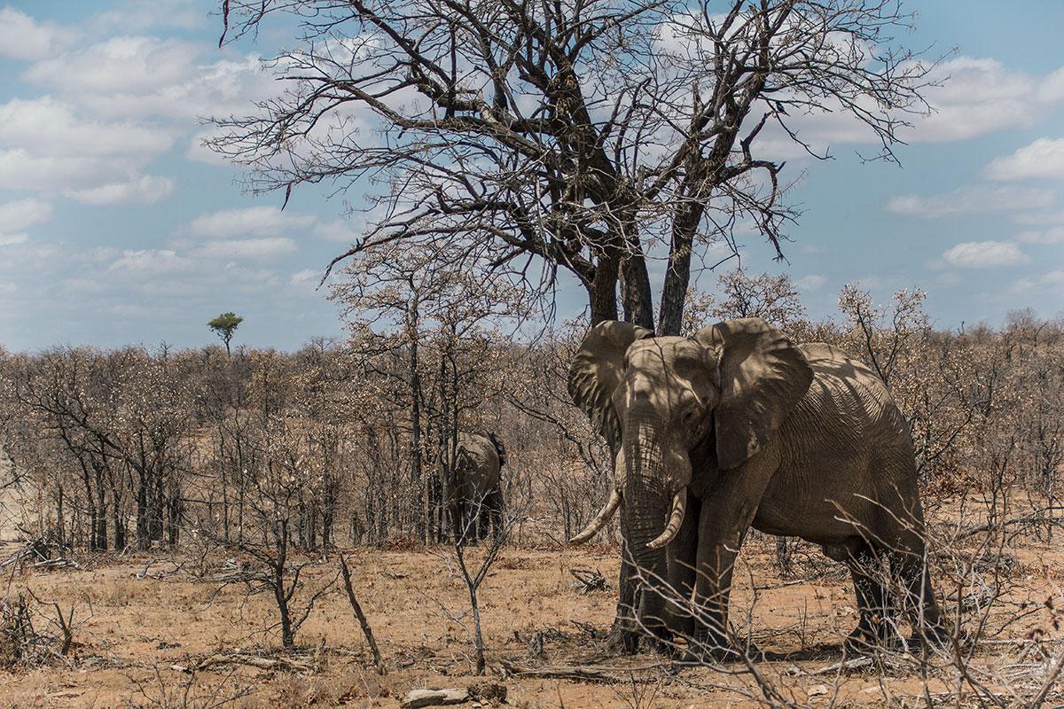 Krüger Nationalpark Elefant scheuert sich am Baum