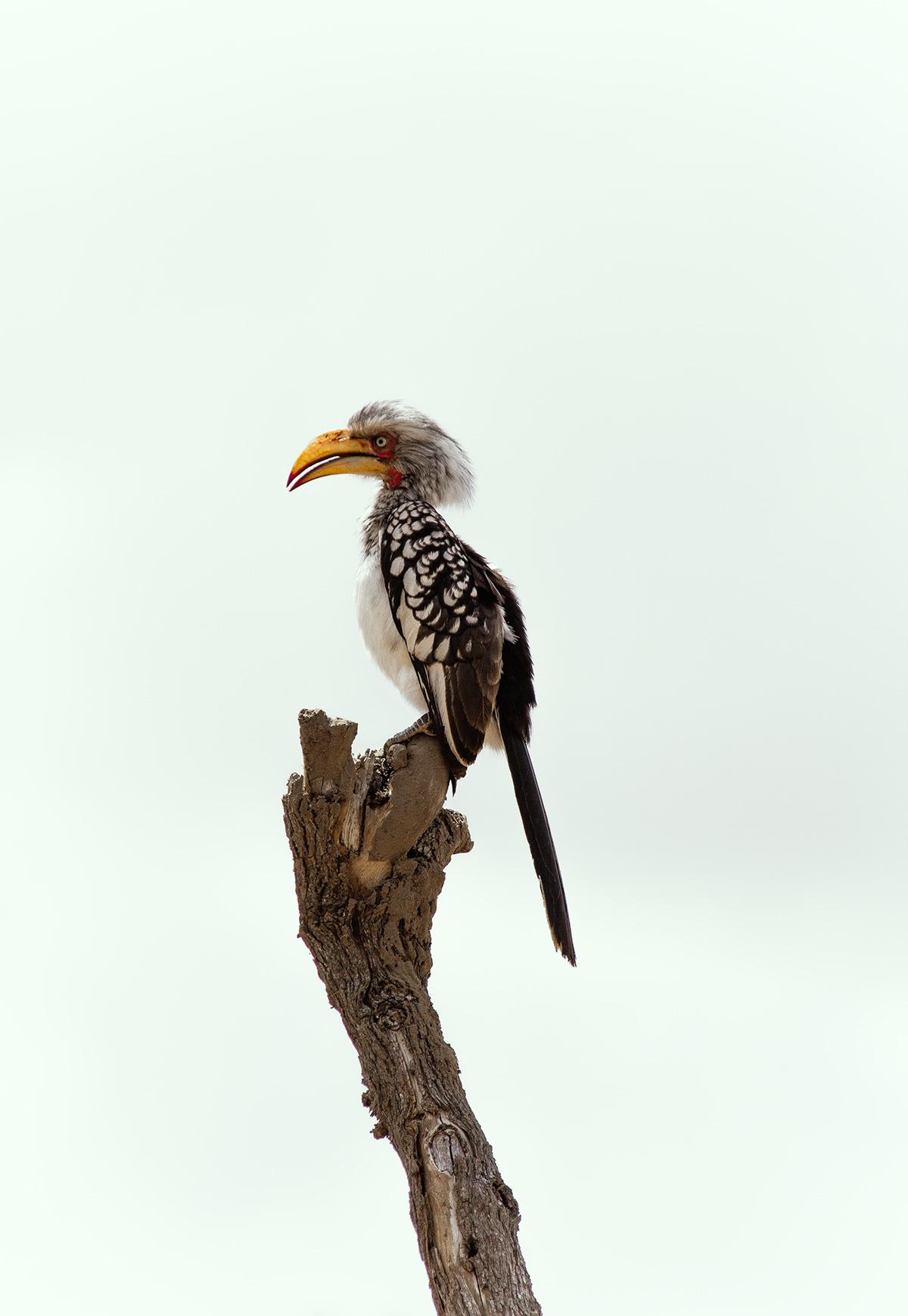 Krüger Nationalpark Gelbschnabeltoko