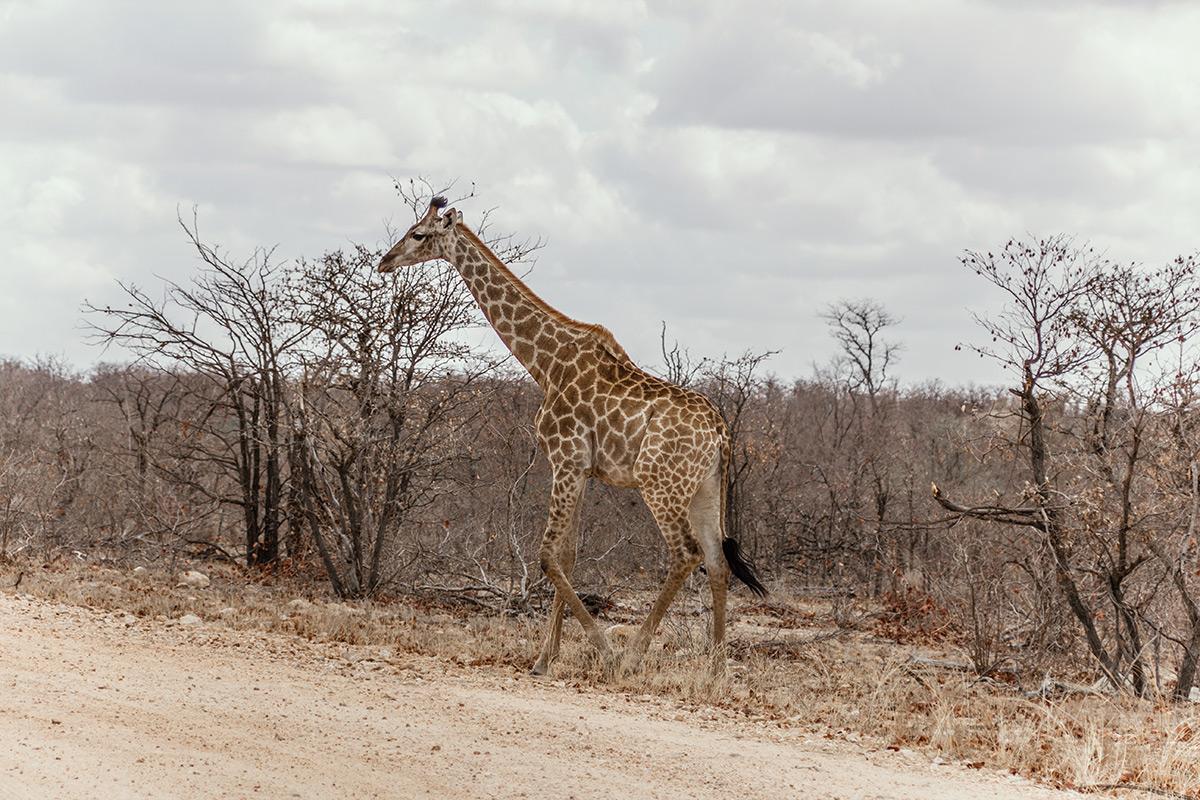 Krüger Nationalpark Giraffe am Straßenrand