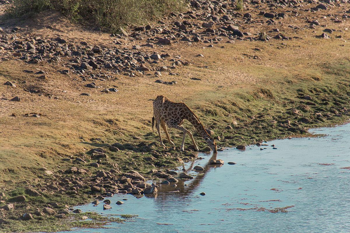 Krüger Nationalpark Giraffe am Trinken