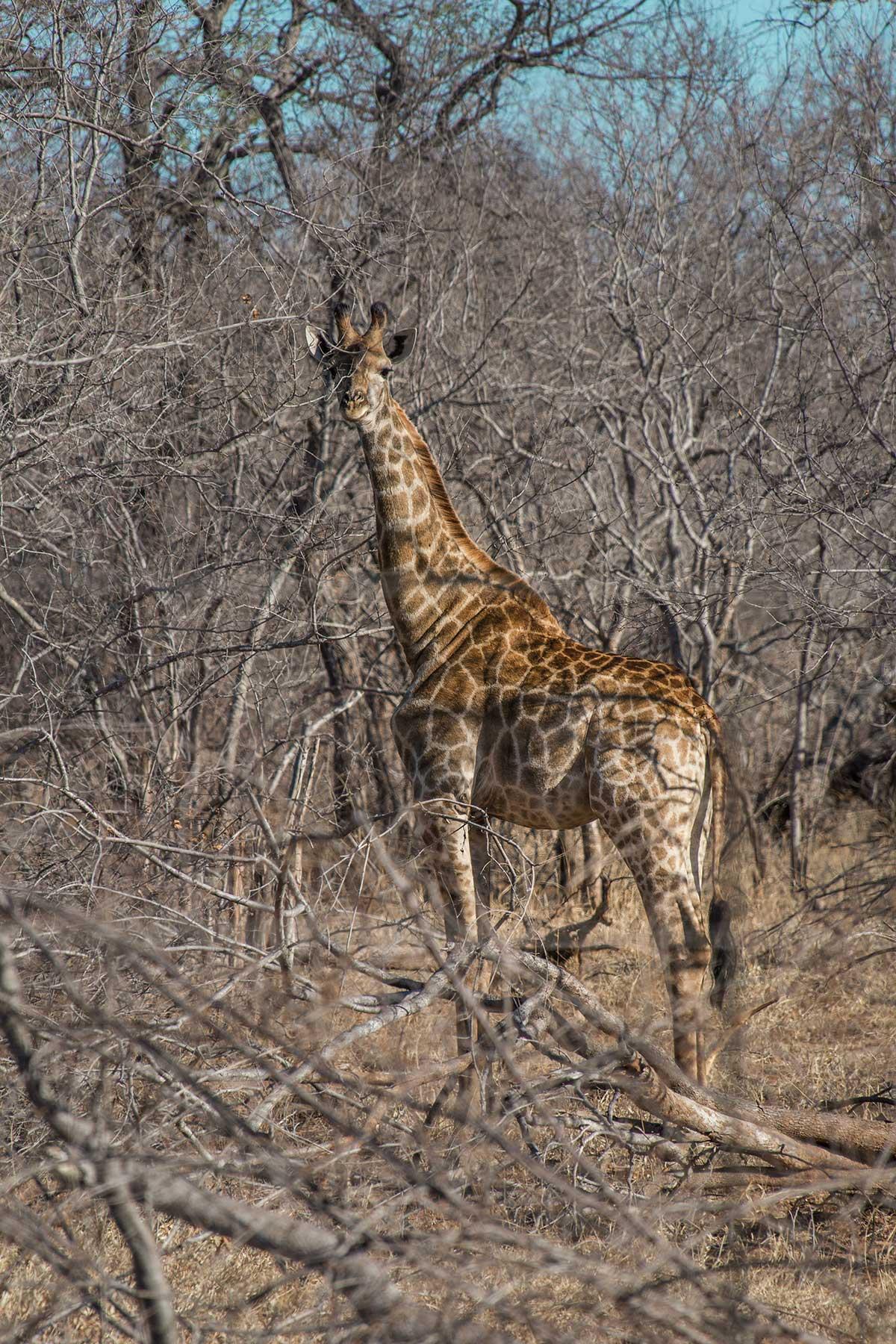 Krüger Nationalpark Giraffe im Dickicht