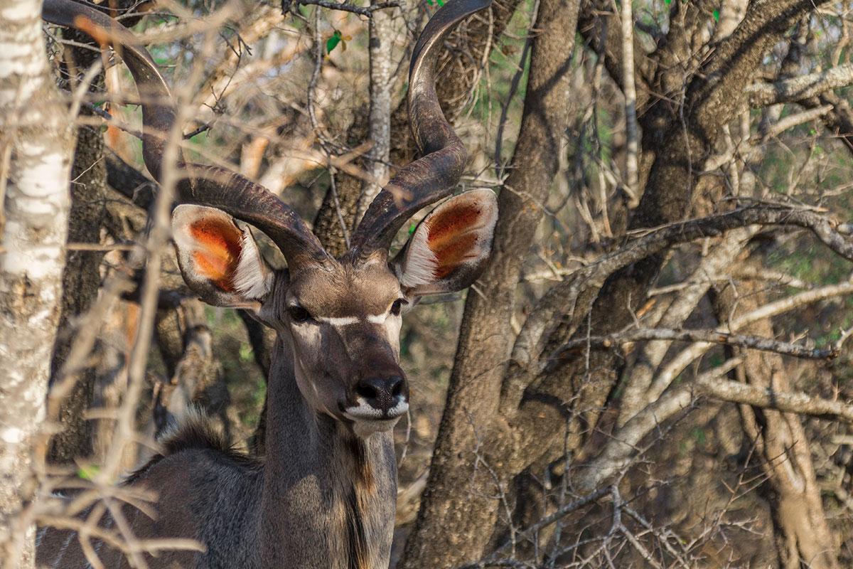 Krüger Nationalpark Kudu