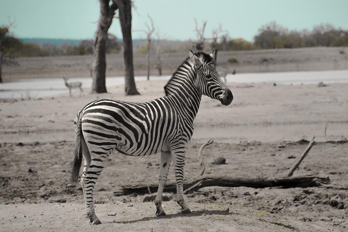Krüger Nationalpark Zebra