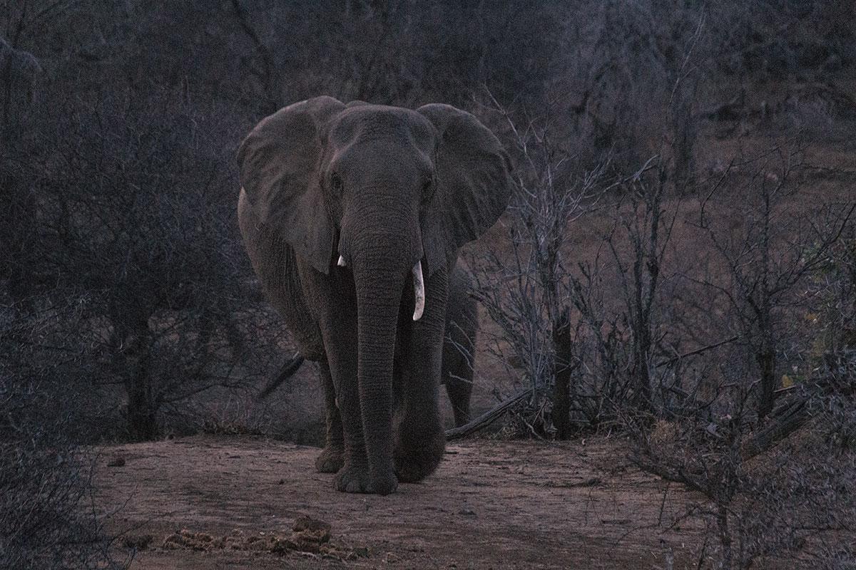 Elefant am Morgen auf der Safari