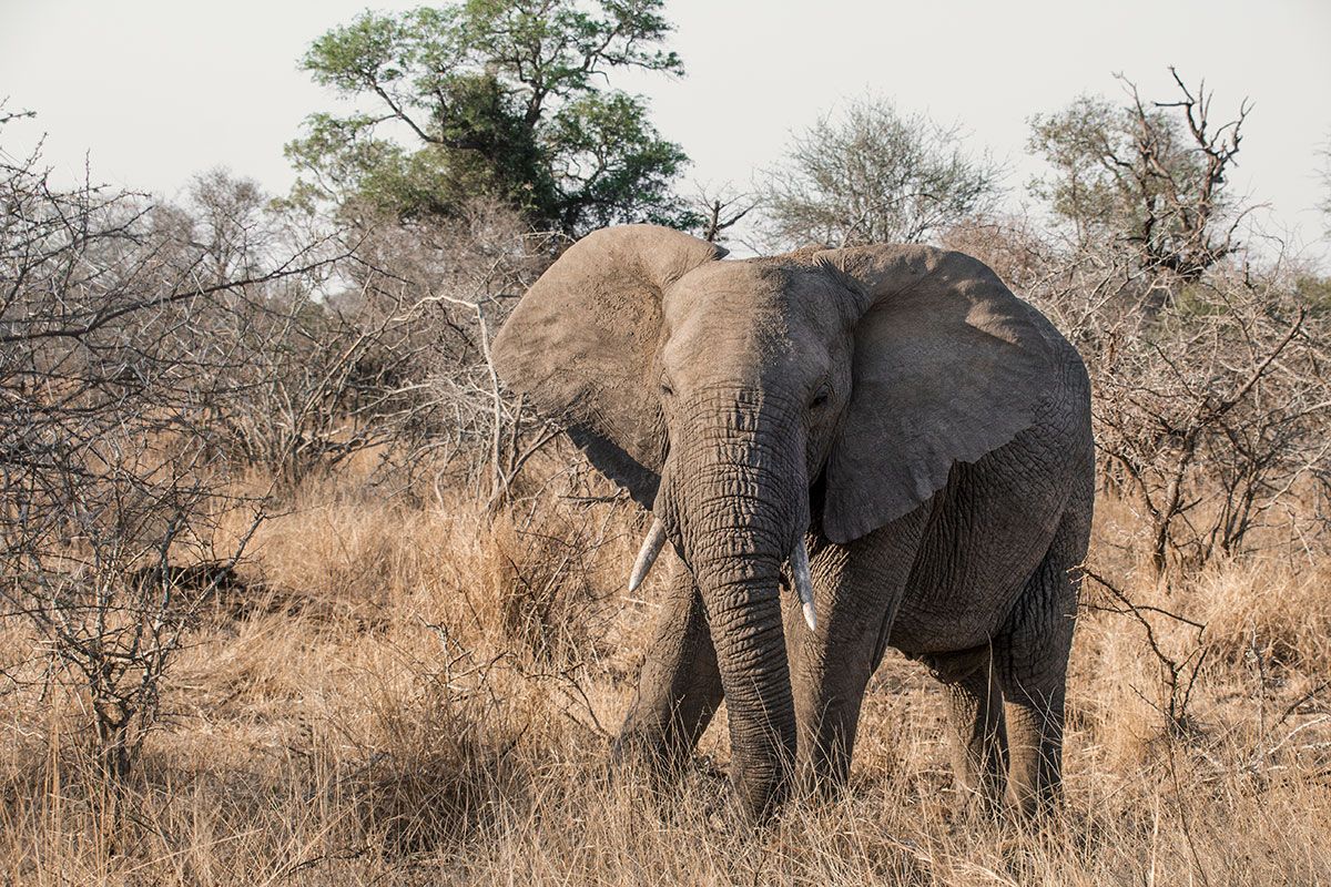 Safari Elefant