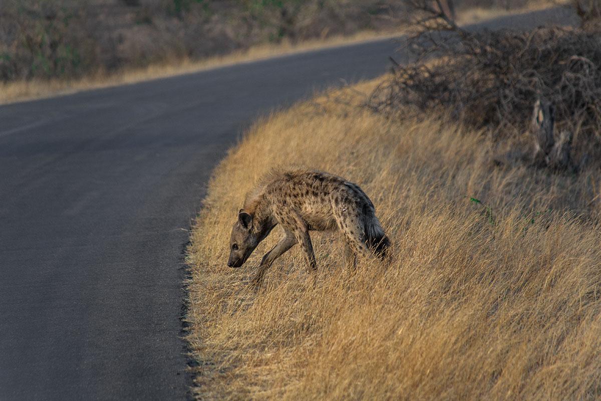 Safari Hyäne