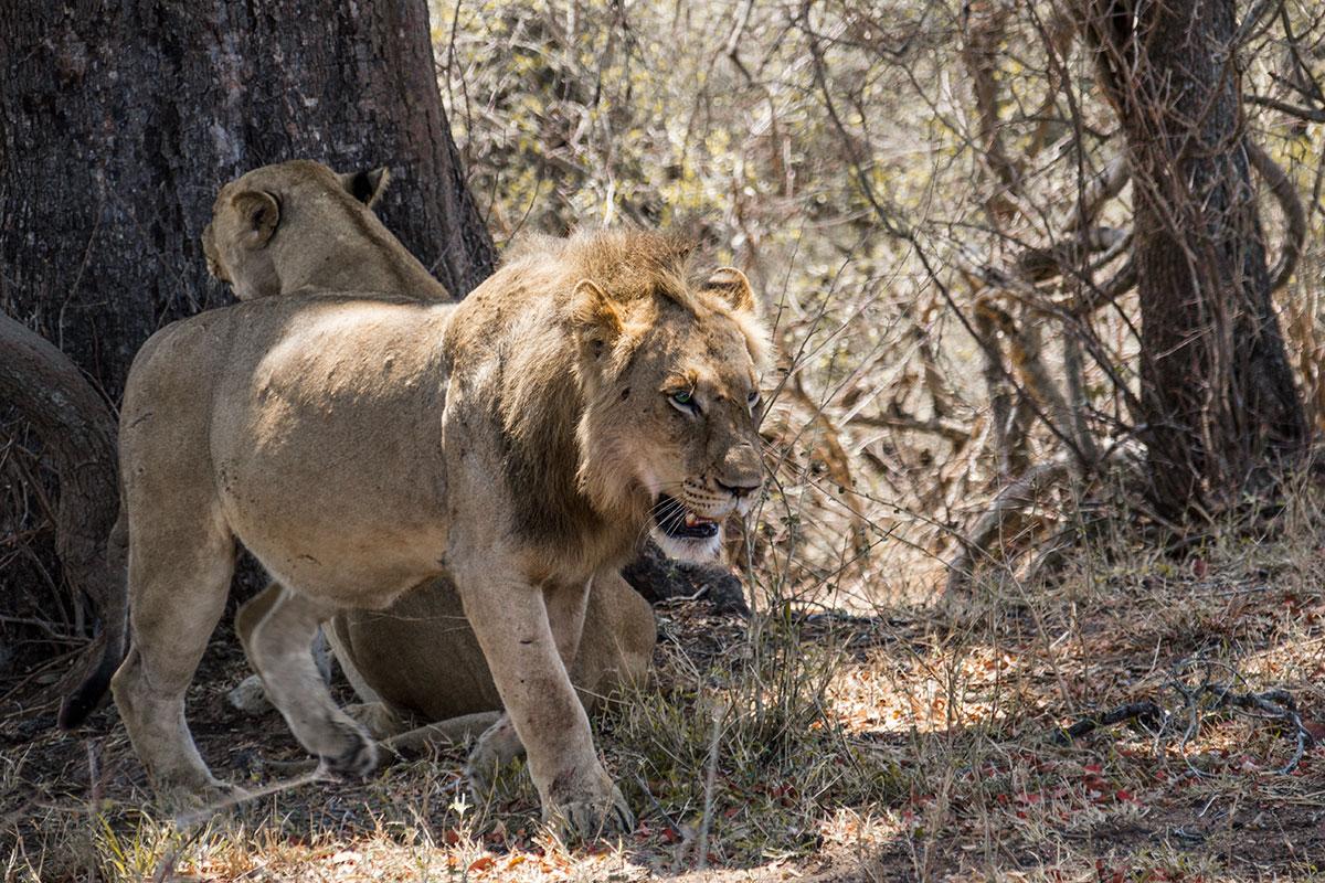 Safari Löwen Männchen Südafrika Reisebericht