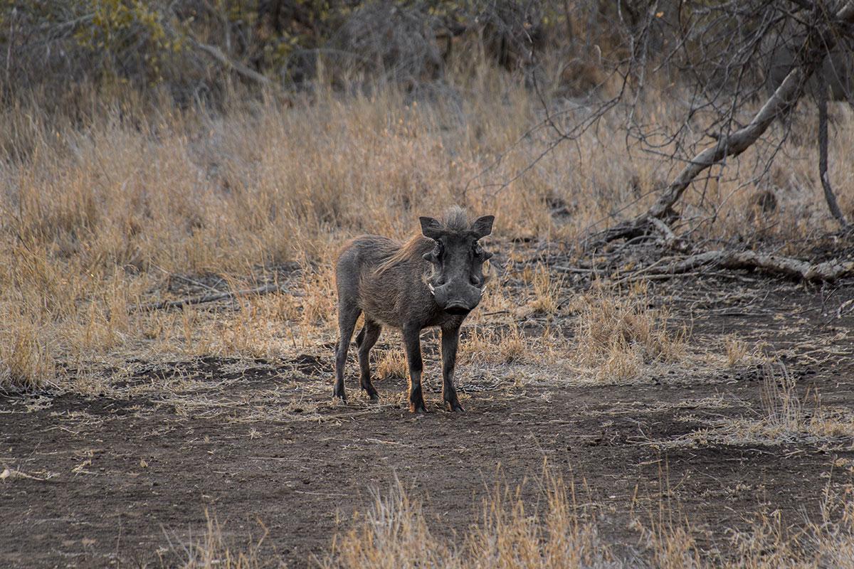 Safari Warzenschwein