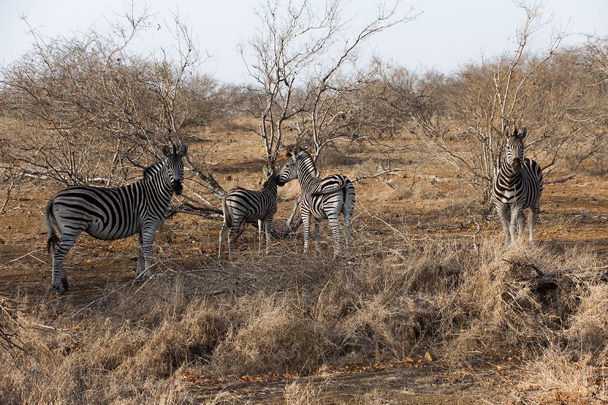 Safari Zebra Familie