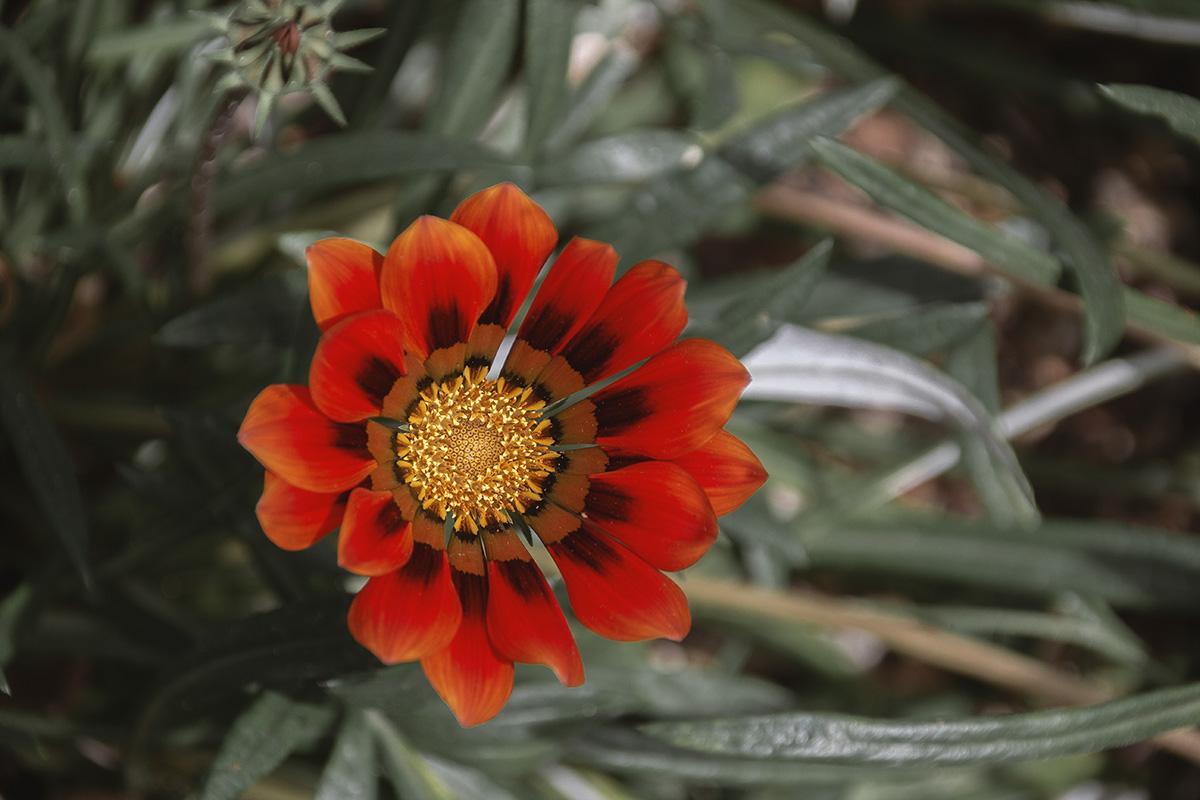 Stellenbosch - Blume im botanischen Garten