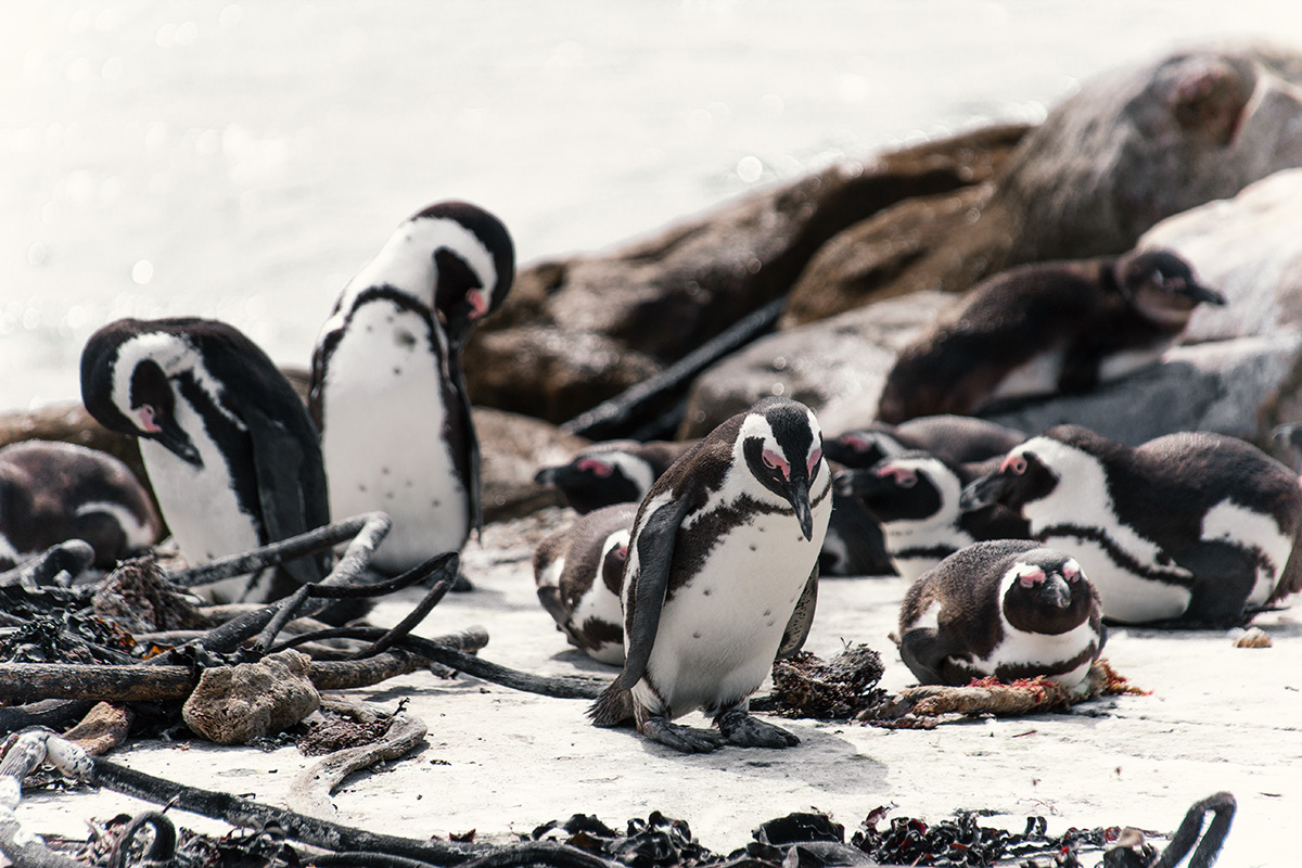 Hermanus Bettys Bay Pinguine