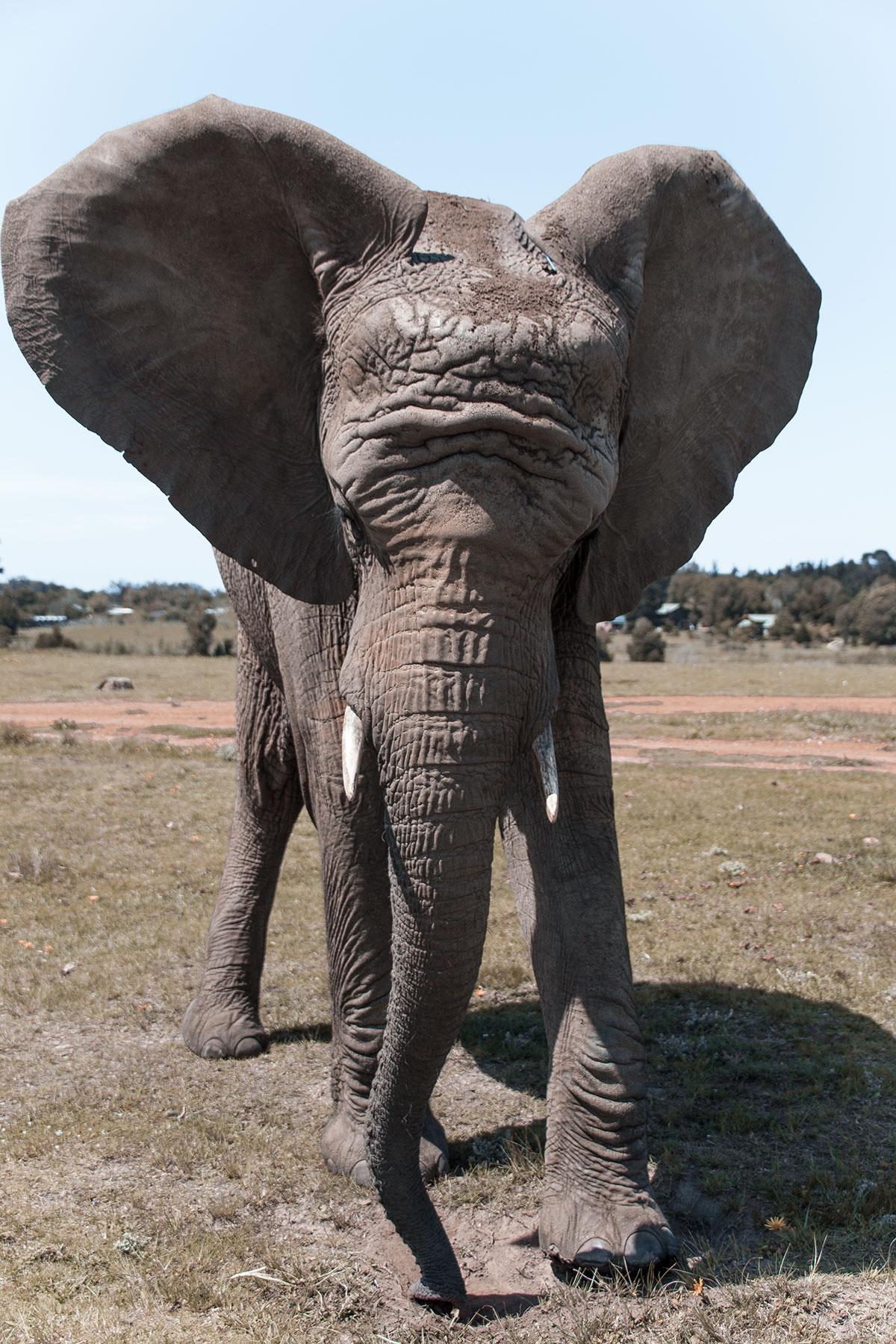 Knysna Elephant Park Elefant