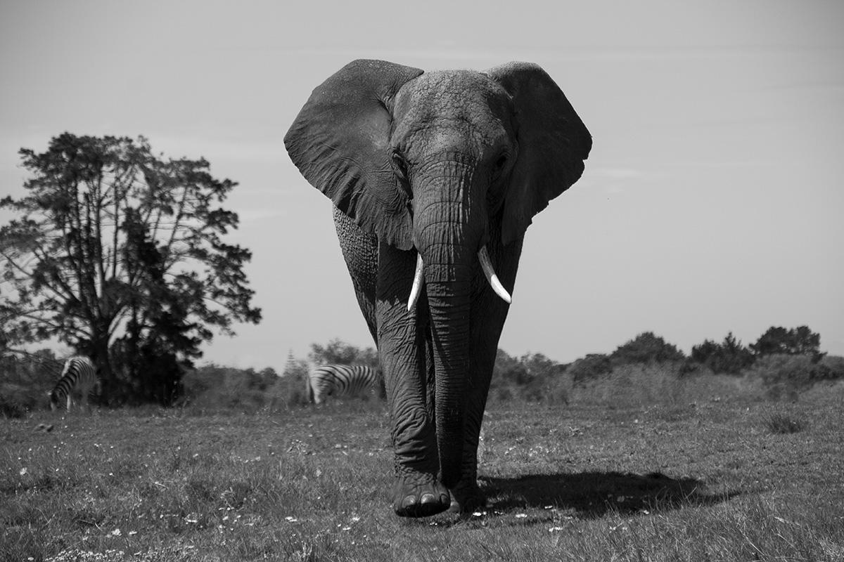 Knysna Elephant Park Elefantenportrait