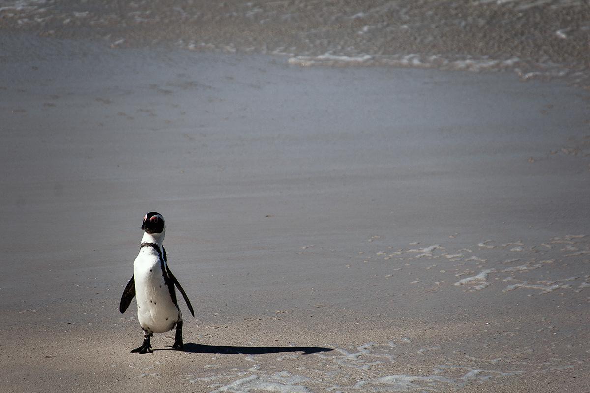 Simon's Town Pinguin kommt aus dem Wasser