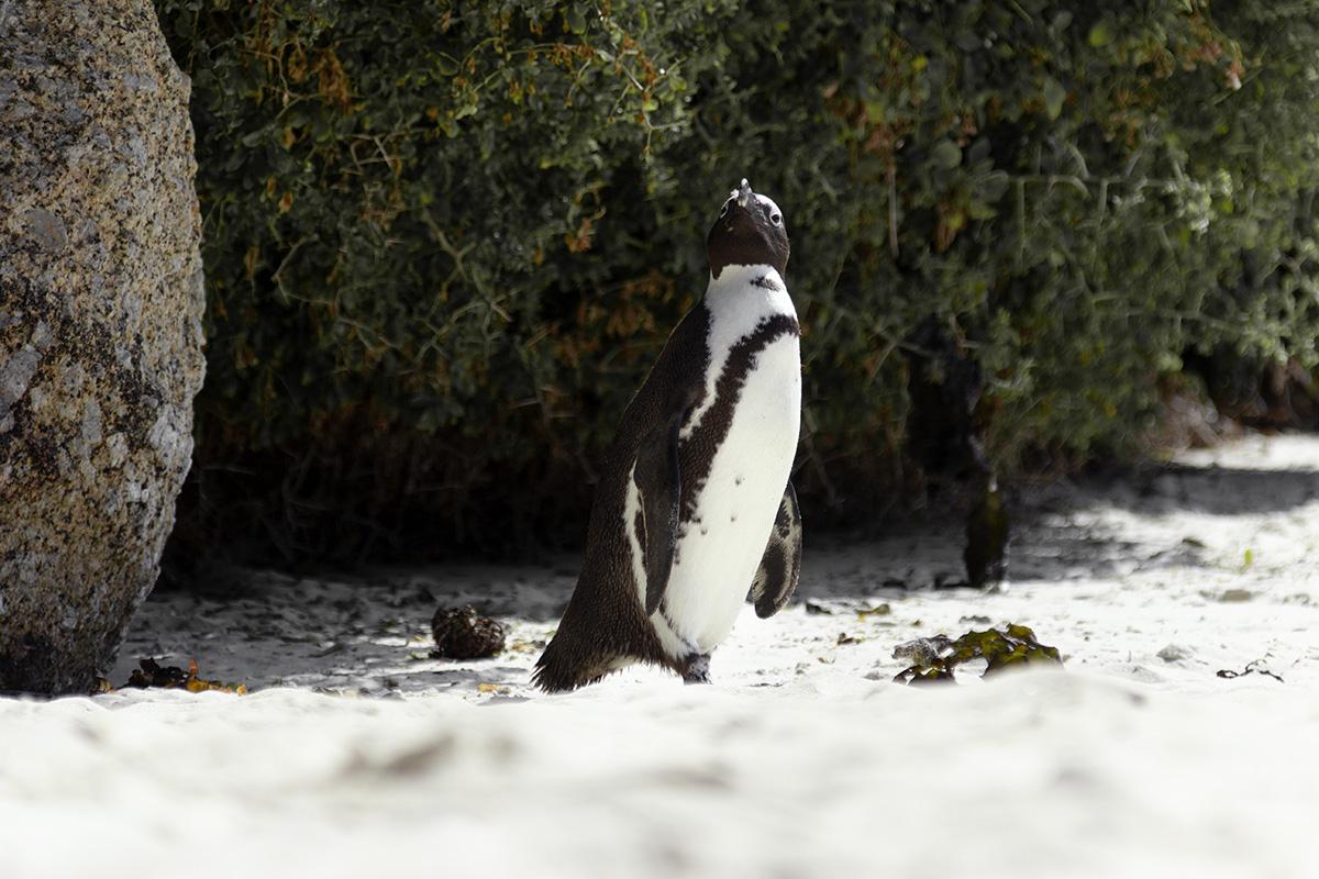 Simon's Town Pinguin