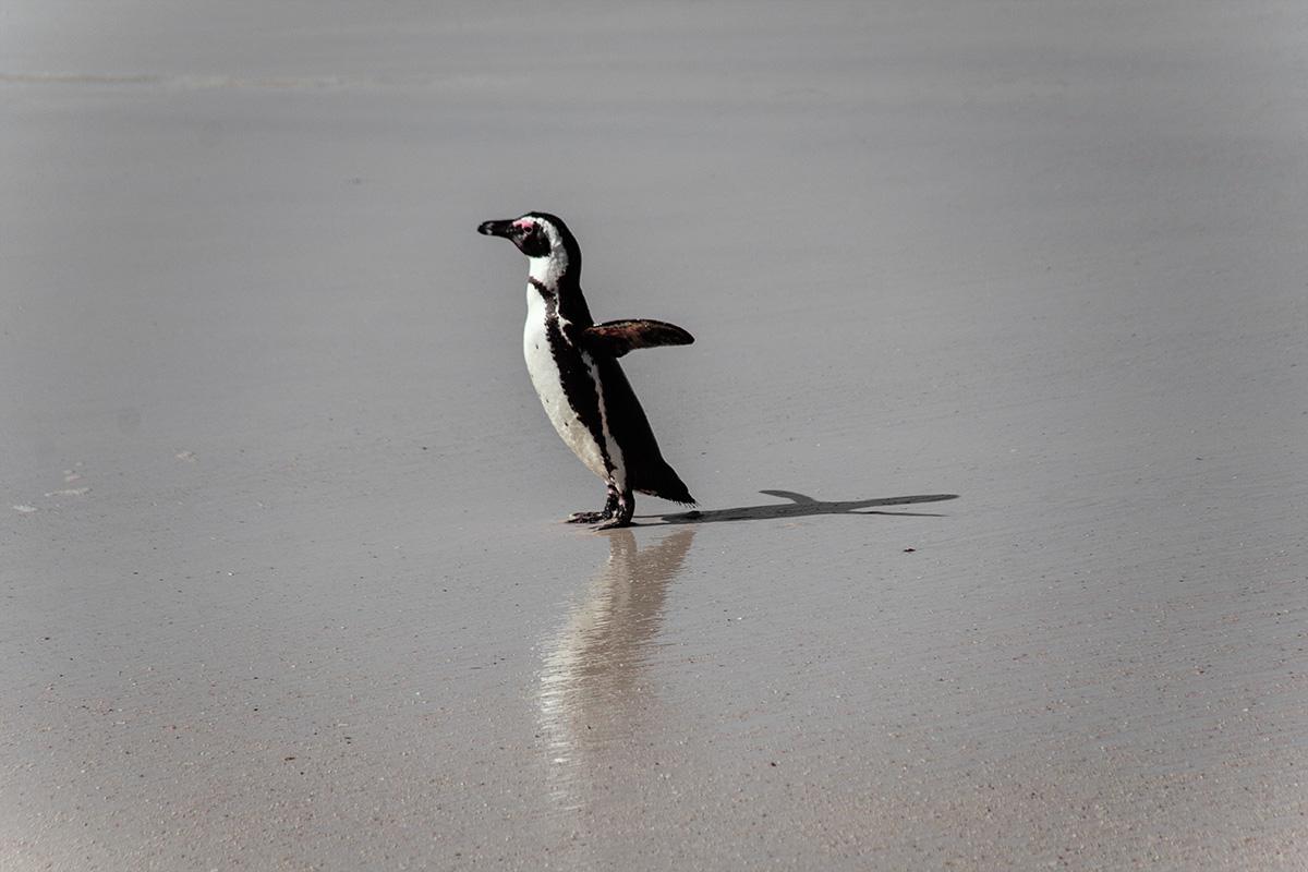 Simon's Town - Süßer Pinguin
