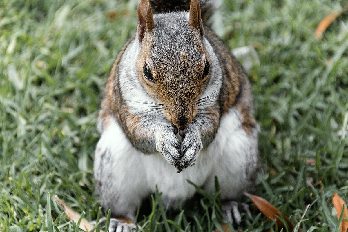 Tafelberg - Companys Garden Eichhörnchen frisst