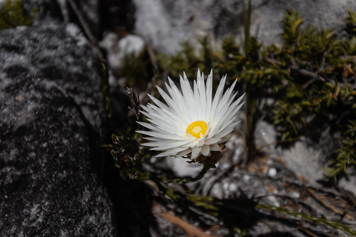 Tafelberg Pflanzenwelt