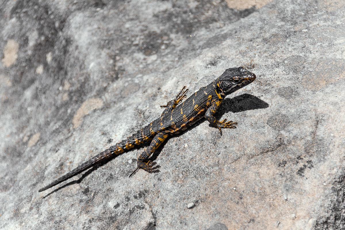Tafelberg Tierwelt Eidechse