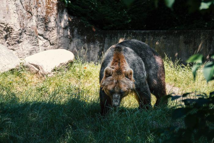 Hagenbecks Tierpark Braunbär