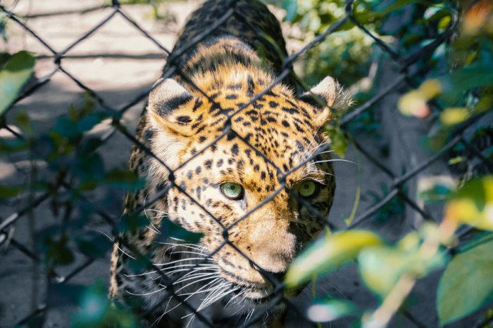 Hagenbecks Tierpark Leopard