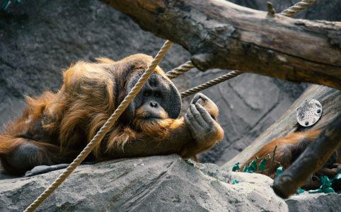 Hagenbecks Tierpark Orang Utan